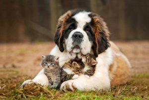 Доброжелательное отношение сенбернара к котятам