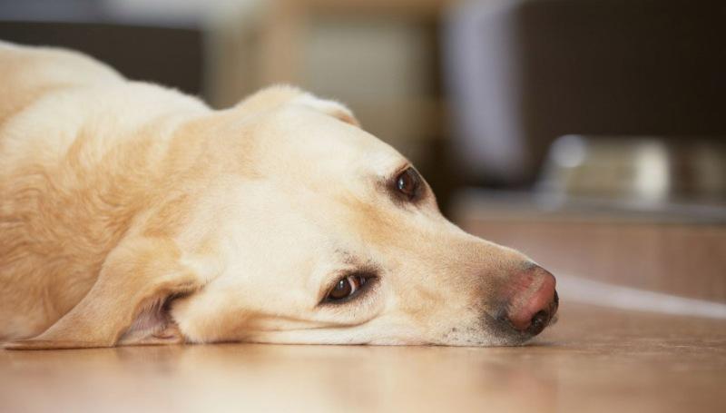Развитие чумки у собаки