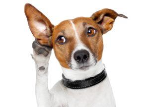 Кратковременная глухота у собак при отите