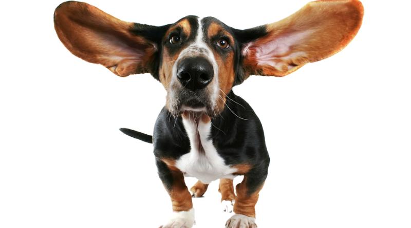 Опухание ушей у собак