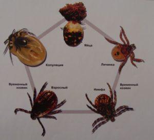 Схема развития пироплазмоза