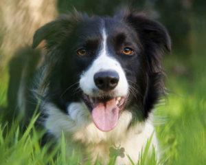 Умная порода собак бордер колли