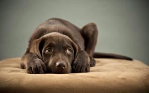 Беспокойство щенка