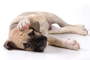У собаки болят уши