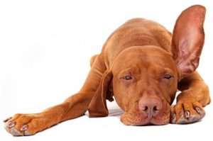 Повреждение уха у собаки