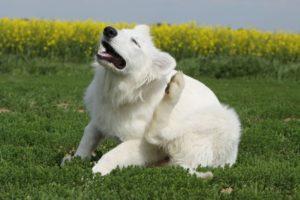 Зуд у собаки при лишае