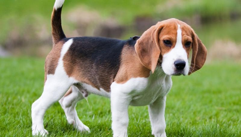 Описание собак породы бигль