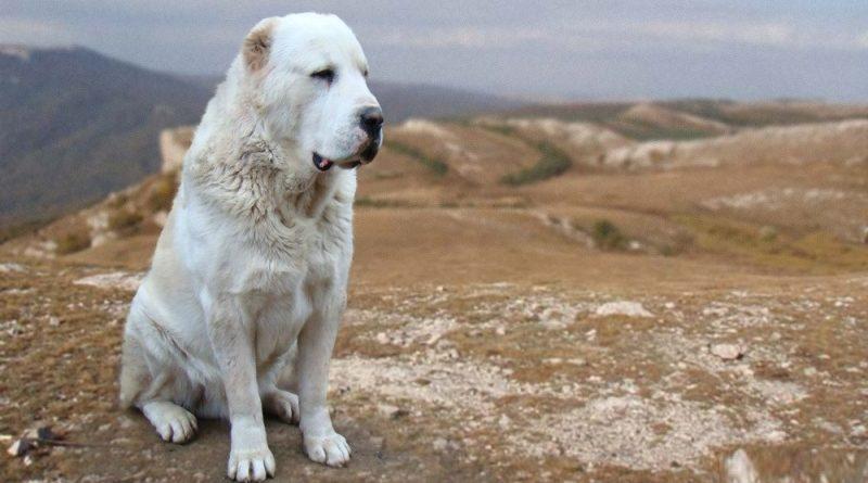 Описание породы собак алабай