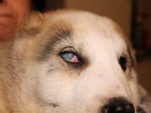 Бельмо после травмы у собаки