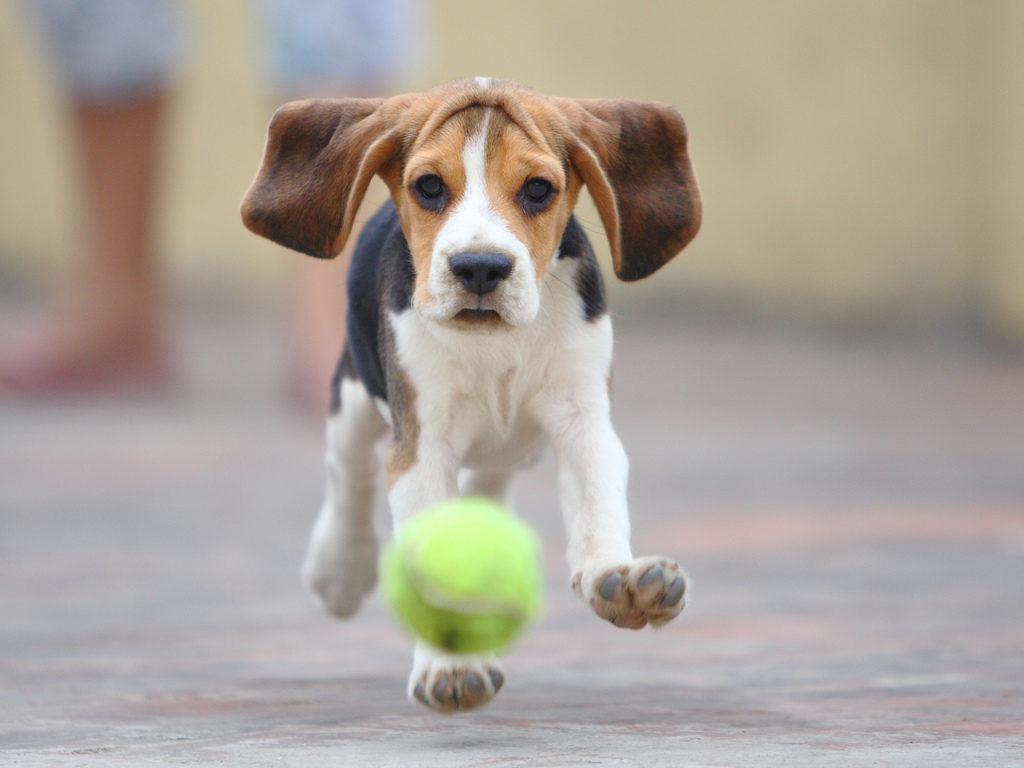 Бигль бежит за мячиком