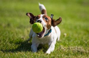 Джек Рассел Терьер с мячиком