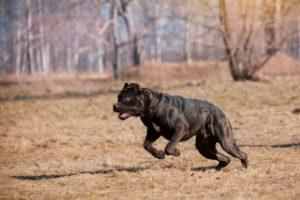 Собака породы Кане Корсо