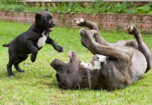 Мама и щенок кане корсо