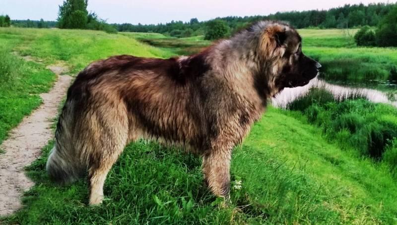 Как выглядит кавказская овчарка
