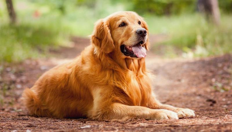 Описание внешности и черты характера собак породы лабрадор ретривер