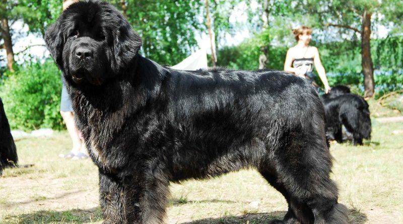 Особенности содержания собак породы ньюфаундленд