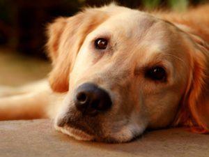 Порок сердца у собаки