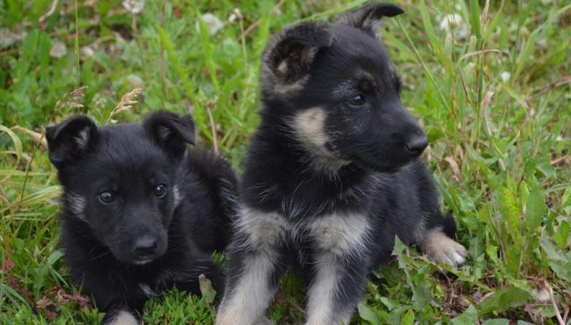 Выбор щенка восточно-европейской овчарки