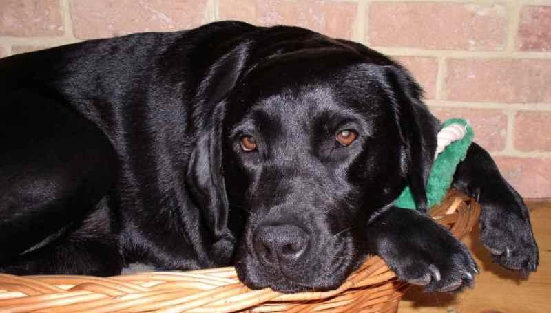 Сердечная недостаточность у собаки