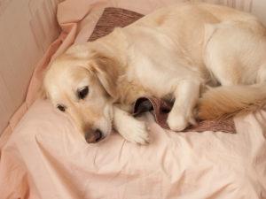 Уход за беременной собакой