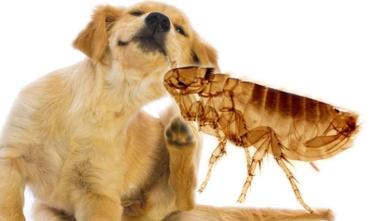 Симптомы и причины появления блох у собак