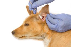 Чистка ушей собаке ватными палочками