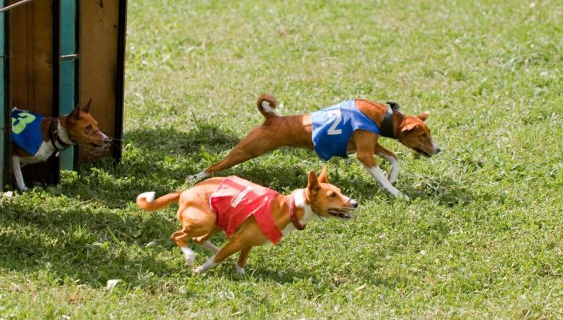 Что такое курсинг для собак