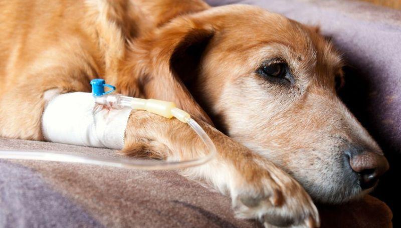 Лептоспироз у собак, симптомы и способы лечения 1