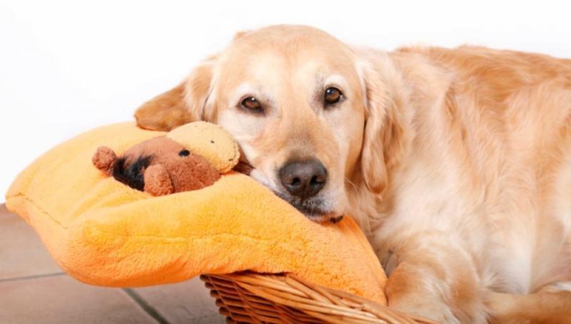 Причины и симптомы ложной беременности у собак