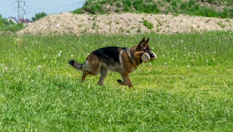 Что такое обидиенс для собак