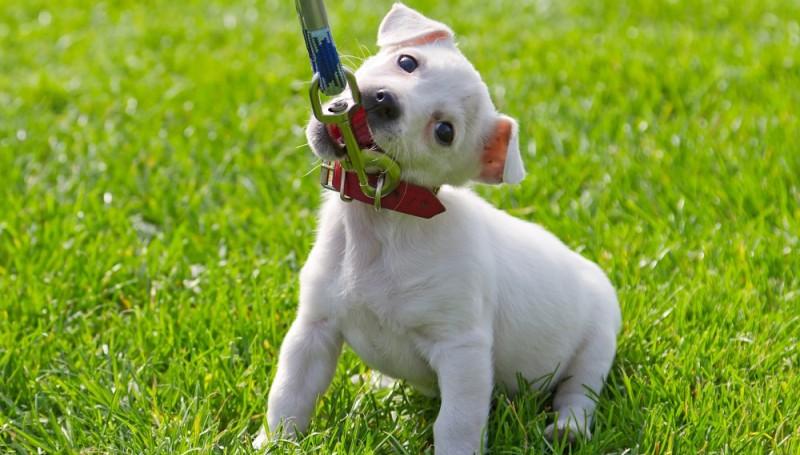 Способы приучения щенка к ошейнику
