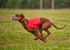 Курсинг для собак