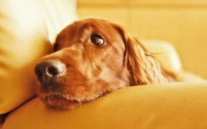 Уход за собакой после стерилизации