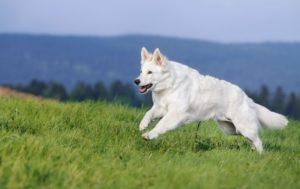 Белая швейцарская овчарка бежит