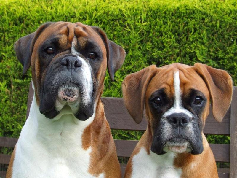 синергия оказывает боксеры собаки фото название украшение очень просто