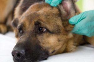 Гематома уха у собаки