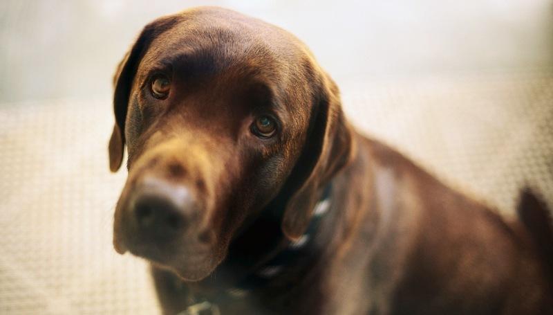 Как вылечить собаку от чумки