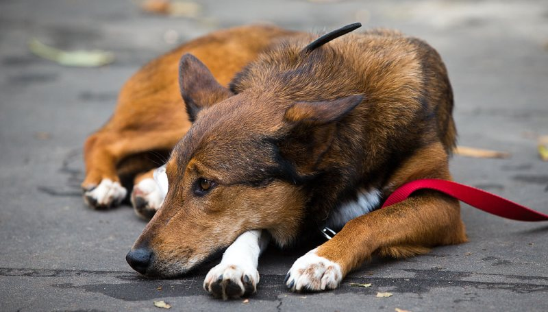 Чумка у собак – причины и лечение