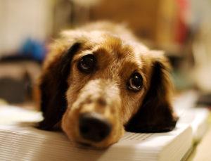 Чумка у собаки