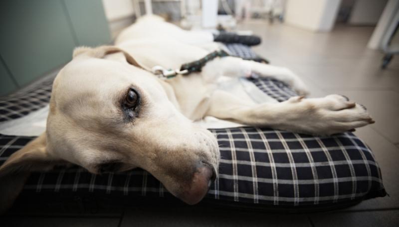 Дисплазия у собак – симптоматика, причины и лечение 1