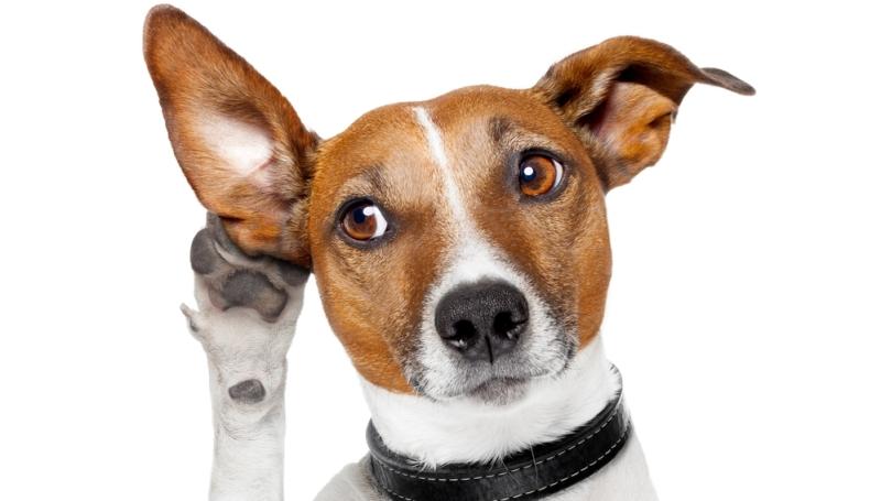 Как понять, что у пса в ухе есть жидкость