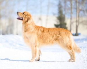 Порода собак золотистый ретривер
