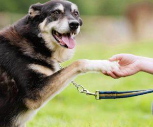 Хромота у собаки