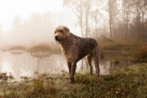 Описание породы ирландский волкодав
