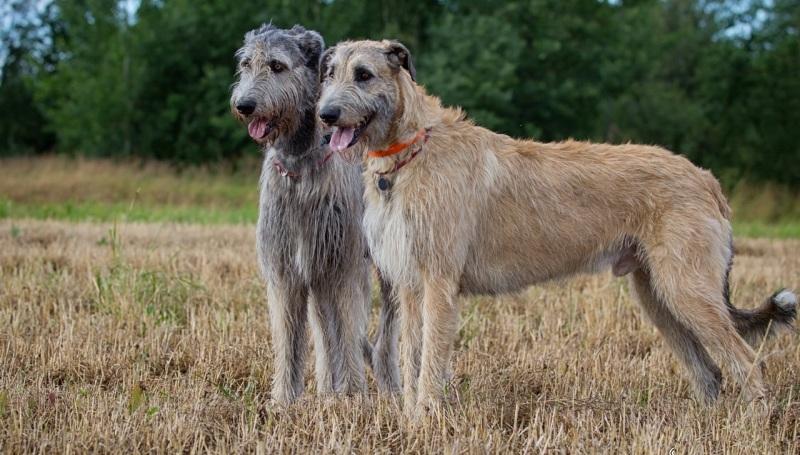 Истинный гигант в мире собак - ирландский волкодав
