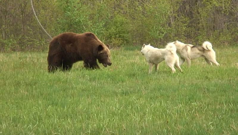Хитрости притравки на медведя собак