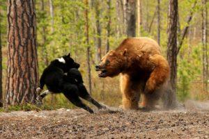 Притравка на медведя