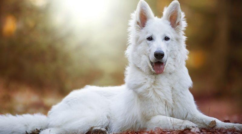 Внешность и черты характера белой швейцарской овчарки