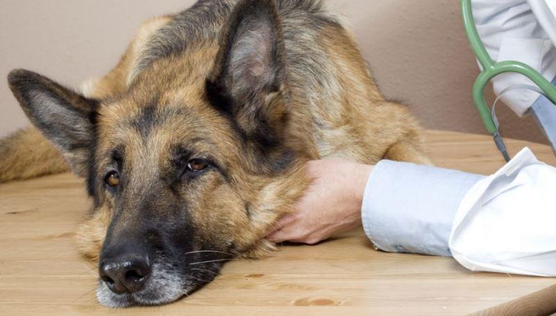 Как вызвать рвоту у собаки при отравлении