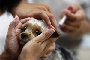 Прививка щенку йорка